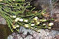 Cassiope lycopodioides (Mount Yake 2016-06-14).jpg
