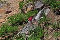 Castilleja parviflora - Paradise, Mount Rainier, August 2014 - 06.jpg