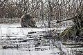Castor fiber 08(js), Narew River, Poland.jpg