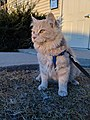 Cat on a Leash Enjoying the Outdoors.jpg