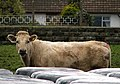 Cattle, Millisle - geograph.org.uk - 739918.jpg