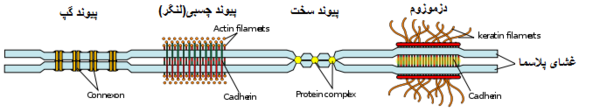 Some examples of cell junctions