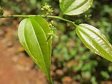 Celtis timorensis young leaves and flowers 09.jpg
