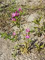 Centaurium littorale subsp. uliginosum sl7.jpg