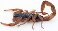 Centruroides suffusus 1 mirrored.png