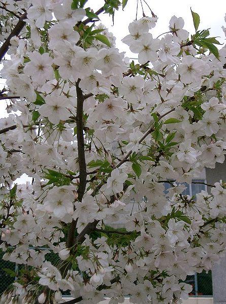 fleurs de cerisiers japonais