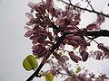 Cercis siliquastrum flowers3.jpg