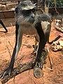 Cercopithecus wolfi.jpg