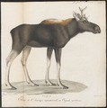Cervus alces - 1818-1842 - Print - Iconographia Zoologica - Special Collections University of Amsterdam - UBA01 IZ21500104.tif