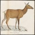 Cervus canadensis - 1818-1842 - Print - Iconographia Zoologica - Special Collections University of Amsterdam - UBA01 IZ21500312.tif