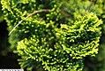 Chamaecyparis obtusa Nana Gracilis 1zz.jpg