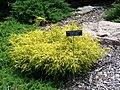 Chamaecyparis pisifera golden charm sawara cypress MN 2007.JPG