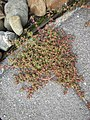 Chamaesyce maculata (L.) Small (AM AK360262-2).jpg