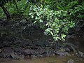 Chanda Mara (Kannada- ಚಂದ ಮರ) (5927429988).jpg