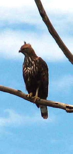 Nisaetus - Sri Lanka changeable hawk-eagle Nisaetus cirrhatus ceylanensis