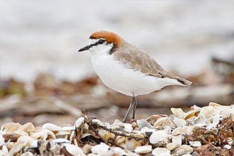 Red-capped plover - Male in breeding plumage