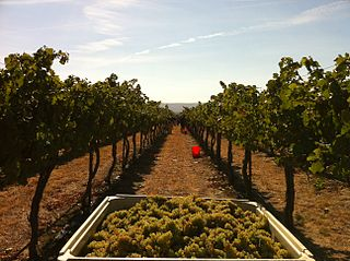 Yield (wine) the amount of grapes or wine that is produced per unit surface of vineyard