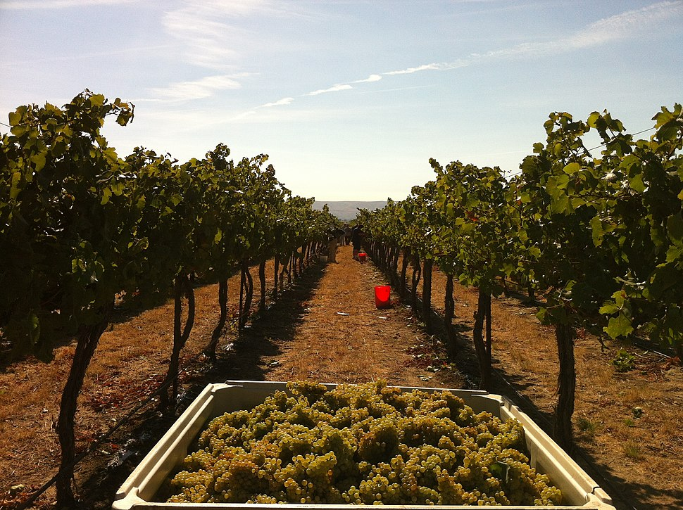 Chardonnay grapes harvested from Wykoff