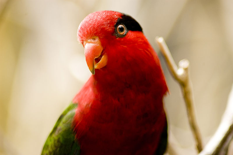 Ficheiro:Charmosyna papou -Fort Worth Zoo-8.jpg