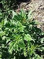 Chenopodium rubrum (s. str.) sl1.jpg