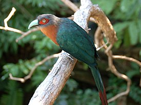 Chestnut-breasted Malkoha San Deigo Zoo 2009.jpg