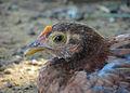 Chicken, Margarita island, Venezuela.jpg