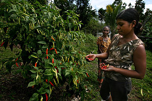 Chili harvest in Lissadila.jpg