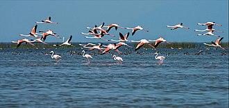 Chilika Lake - Migratory birds at Chilika lake