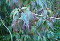 Chimonanthus praecox kz1.jpg