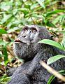 Chimpanzee, Uganda (15187298396).jpg