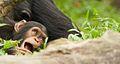 Chimpanzee II (13945324451).jpg