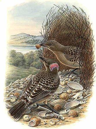 Great bowerbird - Image: Chlamydera nuchalis by Bowdler Sharpe