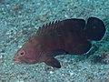 Chocolate grouper (Cephalopholis boenak) (40701425812).jpg