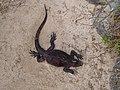 Christmas Iguanas - Marine Iguanas - Espanola - Hood - Galapagos Islands - Ecuador (4871394778).jpg