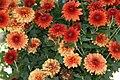 Chrysanthemum x Jennifer 6zz.jpg