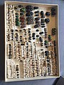 Chrysomelidae collection, Natural History Museum, London 21.jpg