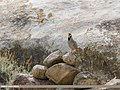 Chukar Partridge (Alectoris chukar) (35644054232).jpg