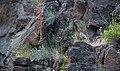 Chukar Partridge at South Fork John Day Wild and Scenic River (36388529556).jpg