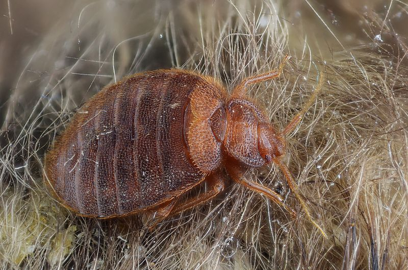 Bed Bug Larvae Fly