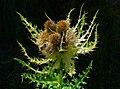 Cirsium spinosissimum 002.JPG