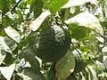 Citrus - വടുകപ്പുളി നാരകം 03.JPG