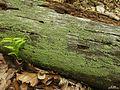 Cladonia parasitica - Flickr - pellaea.jpg