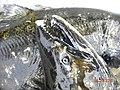 Close up of fall tule chinook.jpg