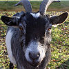 Closeup goat portrait.jpg