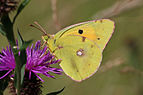 Clouded yellow (Colias croceus) male.jpg