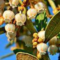 Coastalplain staggerbush (Lyonia fruticosa) (6888861671).jpg