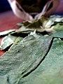 Coca leaves.jpg