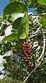 Coccoloba laevis Casar. - Flickr - Alex Popovkin, Bahia, Brazil (5).jpg
