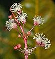 Codiaeum variegatum (Croton) in Hyderabad, AP W IMG 0471.jpg