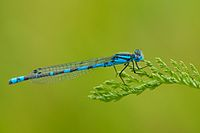 Coenagrion hastulatum male.jpg
